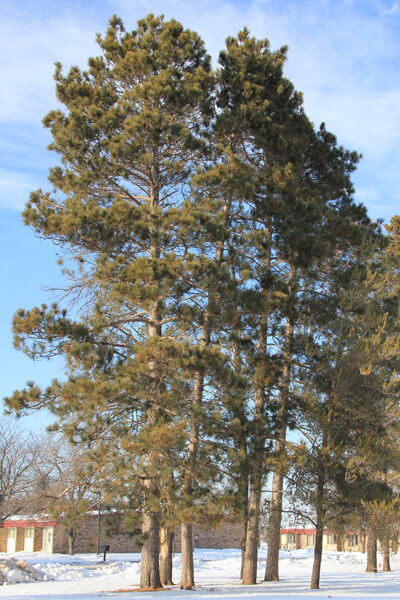 Red Pine (Norway Pine) (Pinus resinosa)