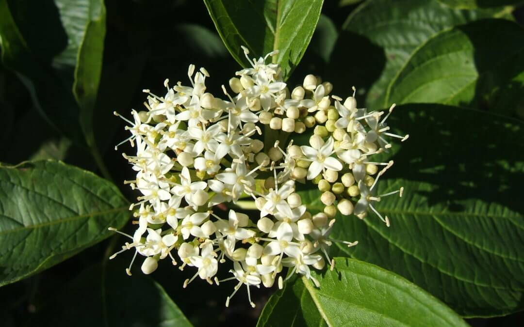 Redosier Dogwood (Cornus sericea)