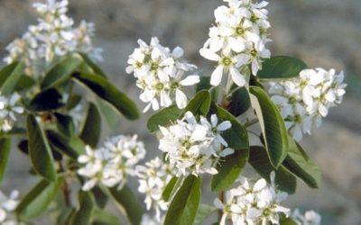 Juneberry/Service Berry (Amelanchier alnofolia)